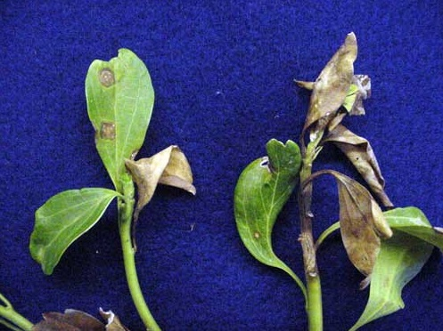 Pachysandra attacked by Leaf Blight