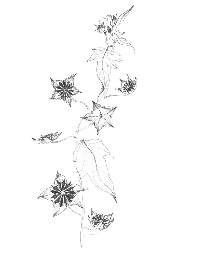 star_weed.jpg