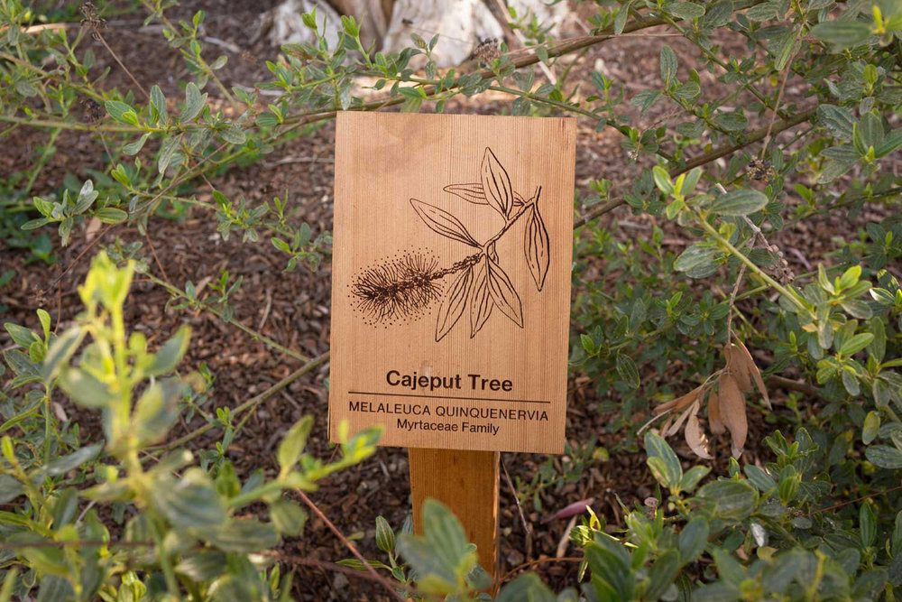 botanical-illustration-identification-signage--Cajeput-Tree-Melaleuca-quinquenervia-Facebook-HQ-by-Erin-Ellis.jpg
