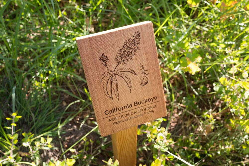 botanical-illustration-identification-signage-california-buckeye-Aesculus-californicus-facebook-hq-by-erin-ellis.jpg