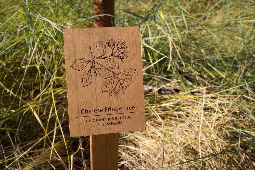 botanical-illustration-identification-signage-Chinese-Fringe-Tree-Chionanthus-retusus-Facebook-HQ-by-Erin-Ellis.jpg