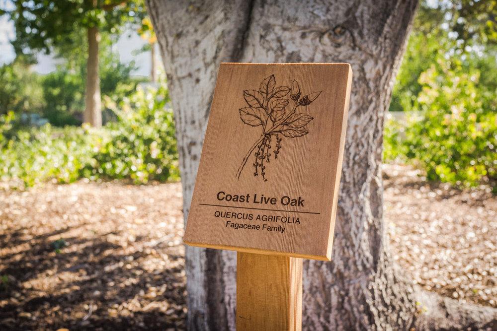 botanical-illustration-identification-signage-Coast-Live-Oak-Quercus-agrifolia-Facebook-Building-20-by-Erin-Ellis-2.jpg