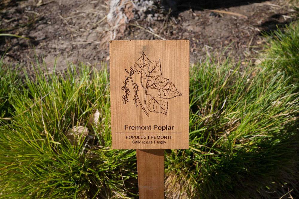 botanical-illustration-identification-signage-Fremont-Poplar-Populus-fremontii-signage-Facebook-Building-20-by-Erin-Ellis-2.jpg