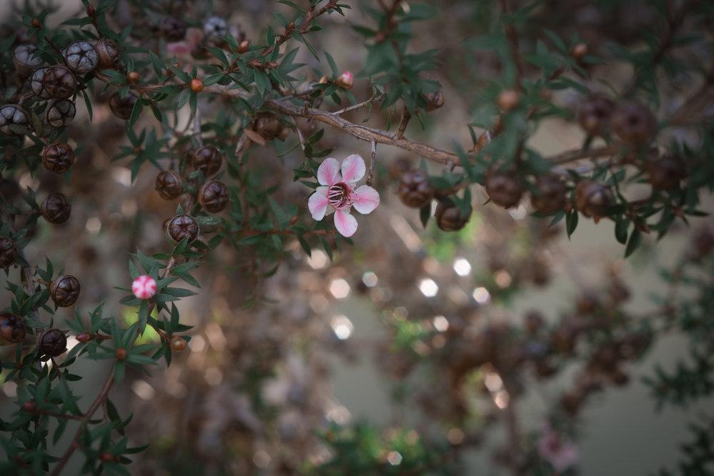 tea tree  (7 of 10).jpg