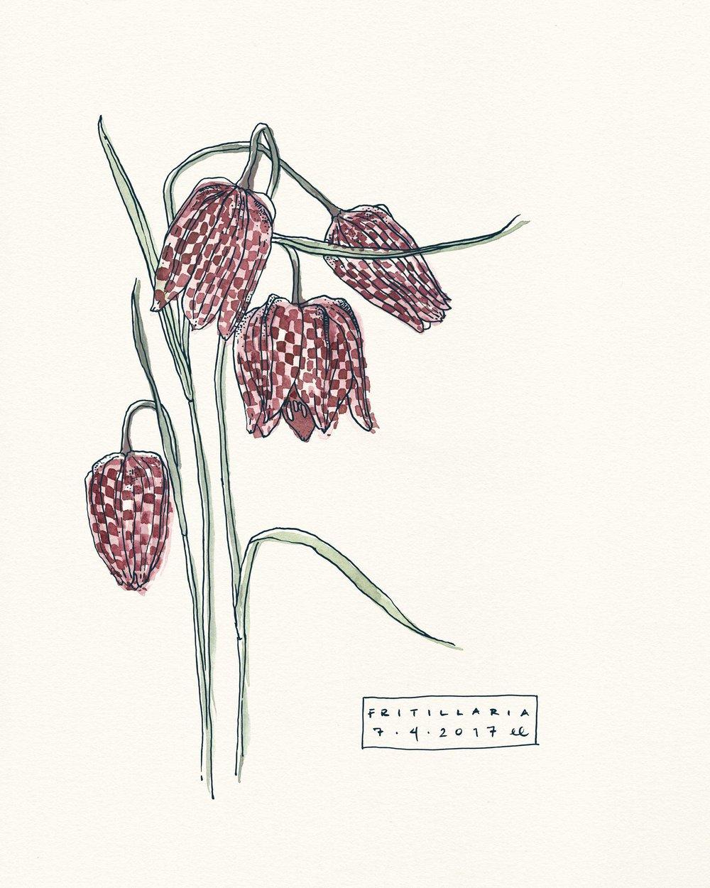 Fritillaria Botanical Illustration