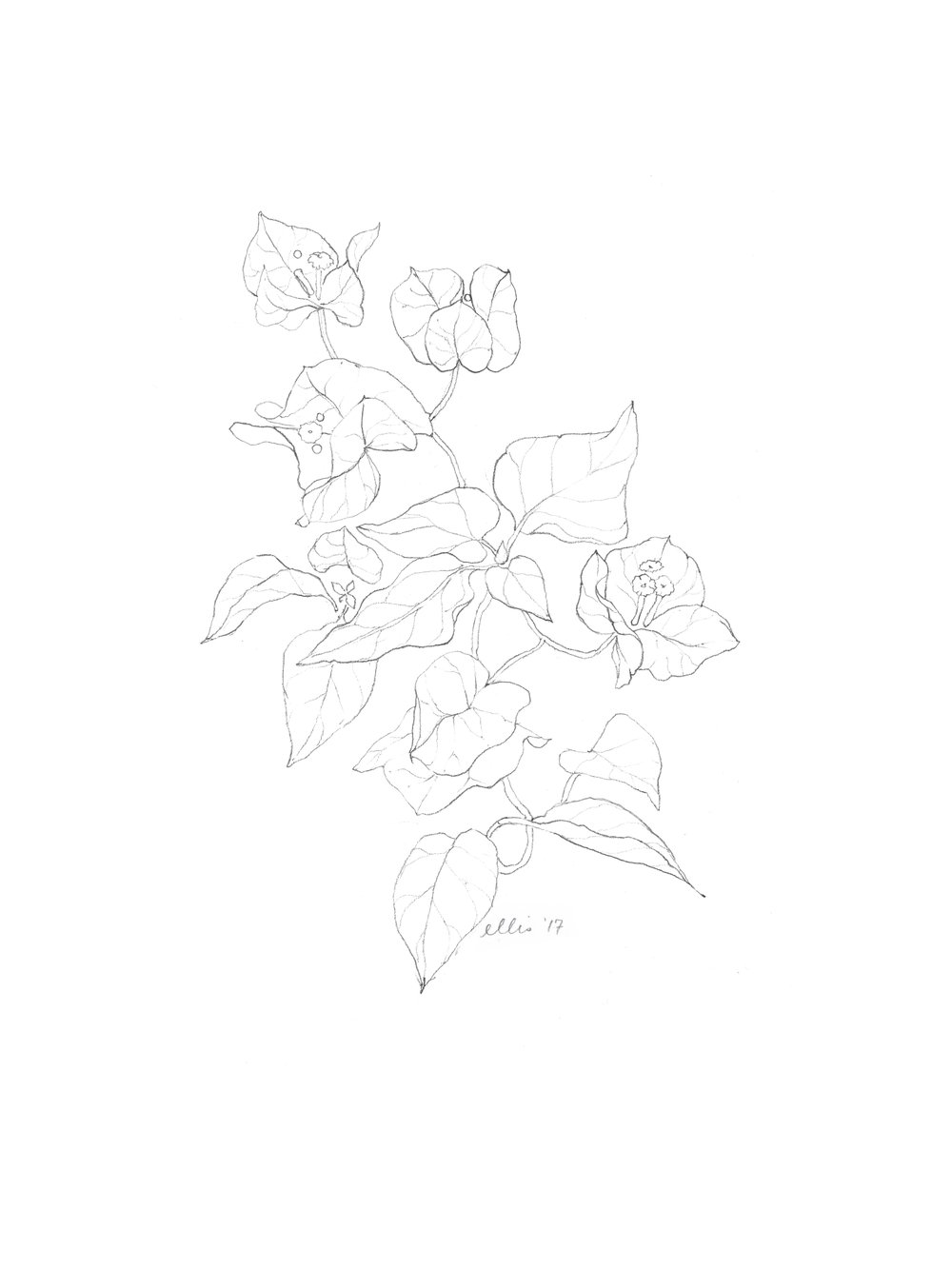 erin-ellis_bougainvillea_vine_floral_illustration_bw.jpg
