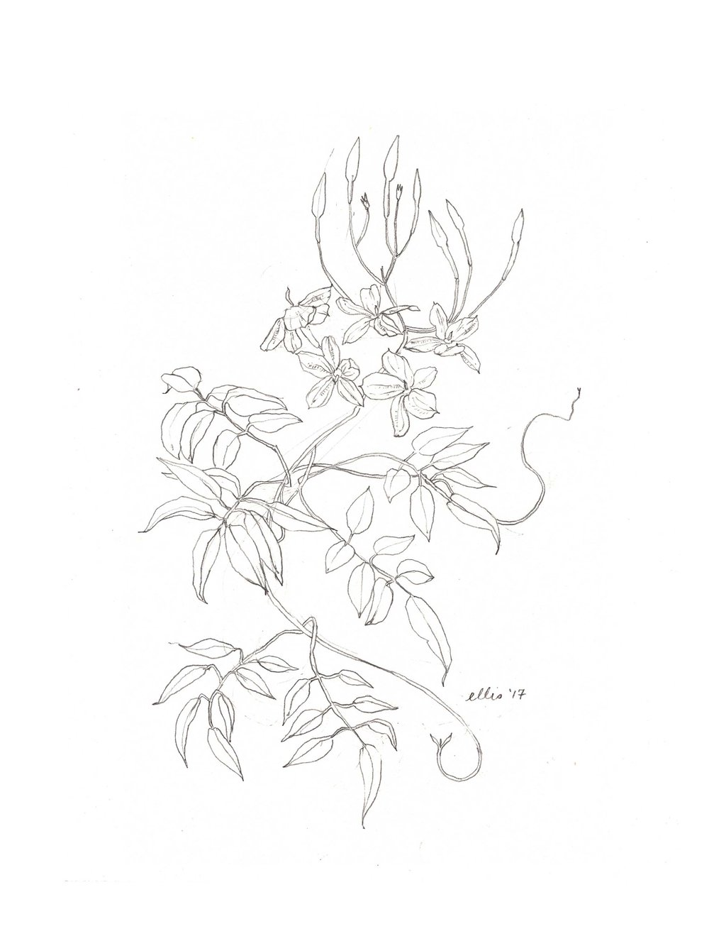 erin-ellis-jasmine-vine-illustration-bw.jpg