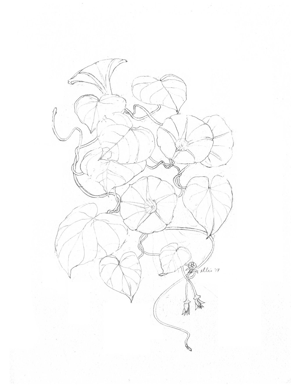 erin-ellis-morning-glory-illustration-bw.jpg