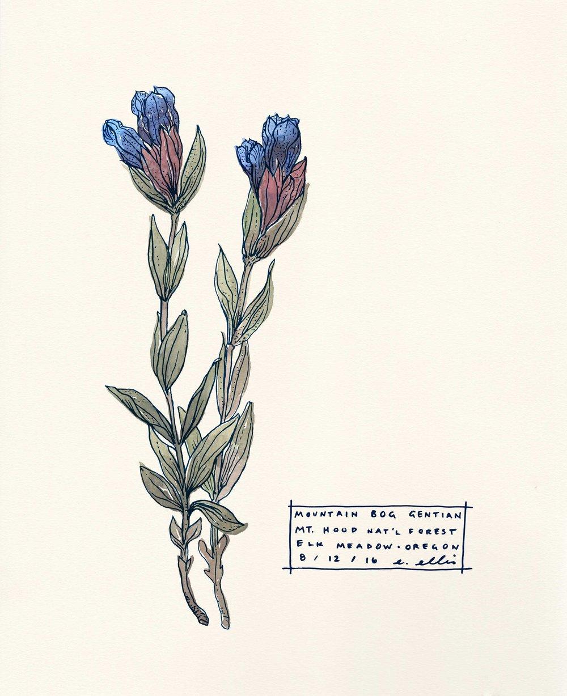 Gentian Botanical Illustration