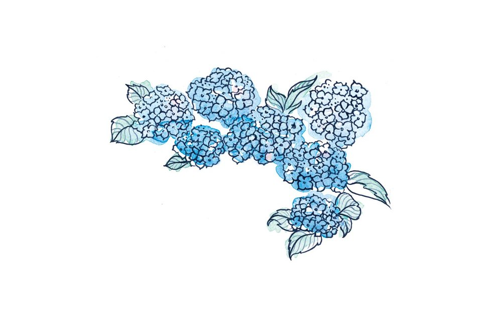 erin-ellis_bay_head_hydrangea_illustrations_watercolor.jpg