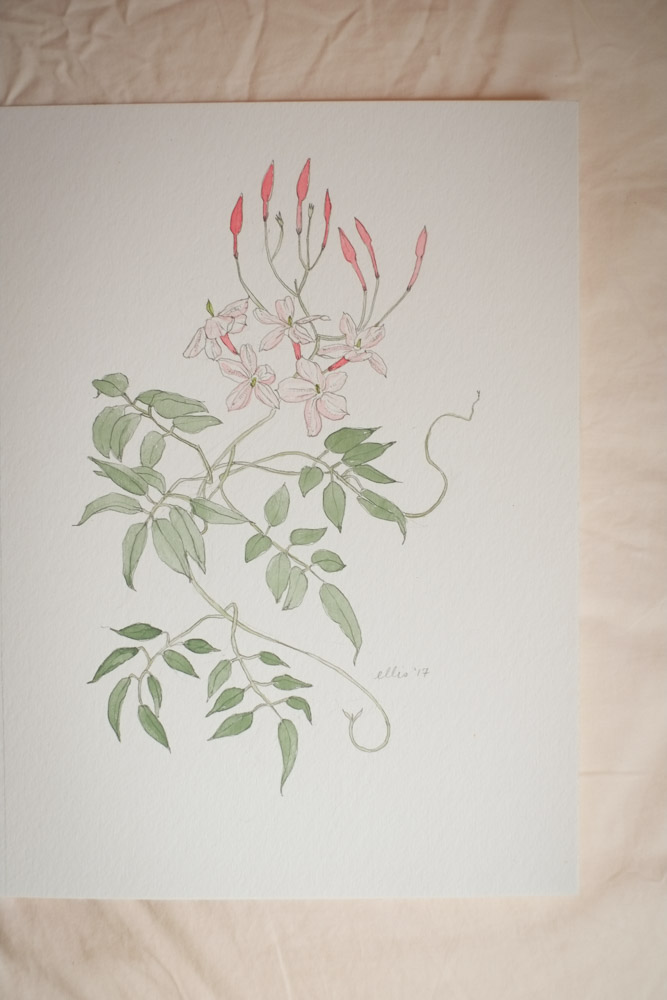 Erin Ellis_botanical flowering vines watercolor drawings-11-2.jpg
