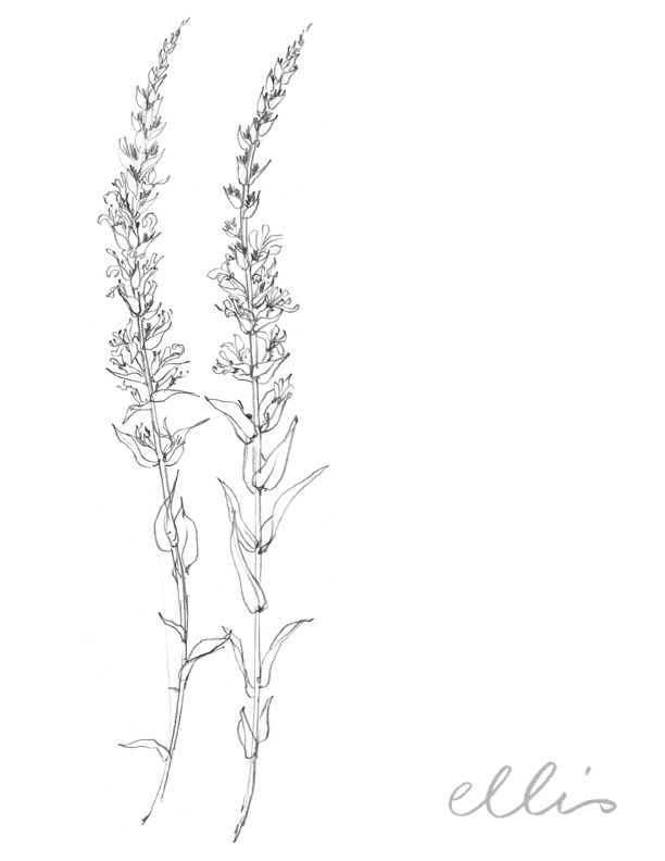 Erin Ellis_100 days project botanical drawings_2013-50.jpg