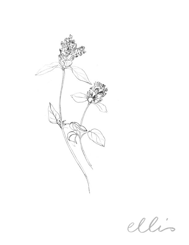 Erin Ellis_100 days project botanical drawings_2013-53.jpg