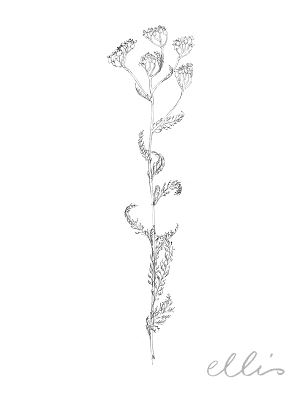 Erin Ellis_100 days project botanical drawings_2013-57.jpg
