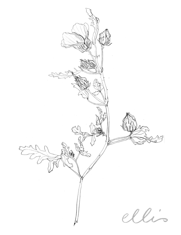 Erin Ellis_100 days project botanical drawings_2013-59.jpg