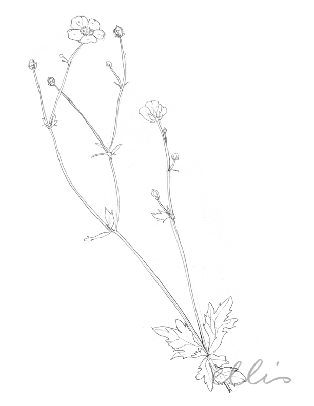 Erin Ellis_100 days project botanical drawings_2013-63.jpg