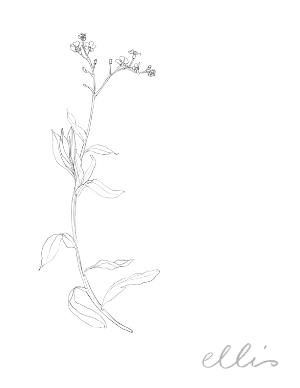 Erin Ellis_100 days project botanical drawings_2013-64.jpg