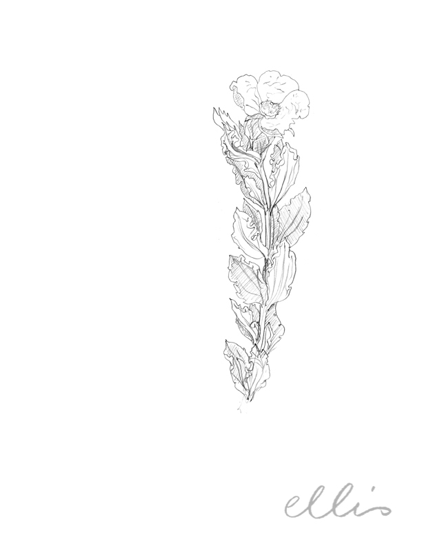Erin Ellis_100 days project botanical drawings_2013-66.jpg