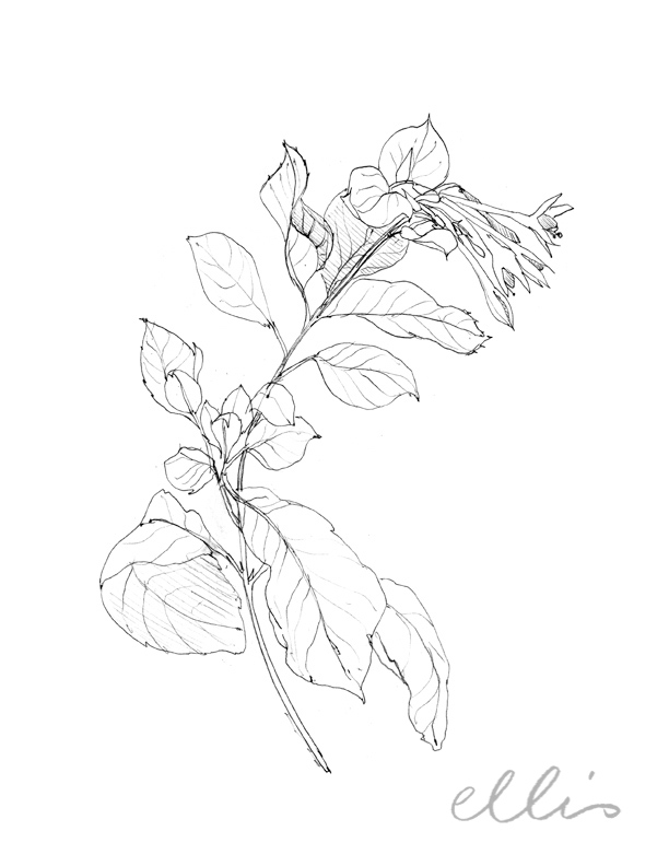 Erin Ellis_100 days project botanical drawings_2013-70.jpg