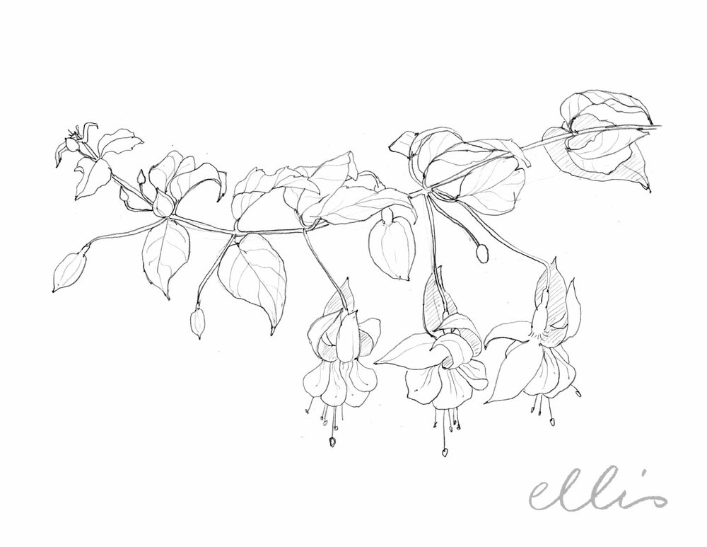 Erin Ellis_100 days project botanical drawings_2013-77.jpg