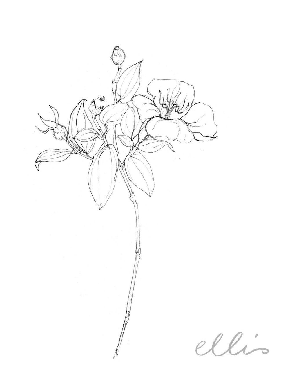 Erin Ellis_100 days project botanical drawings_2013-78.jpg