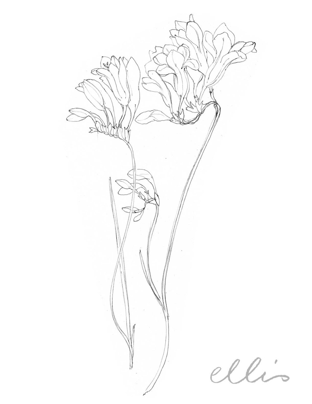 Erin Ellis_100 days project botanical drawings_2013-81.jpg