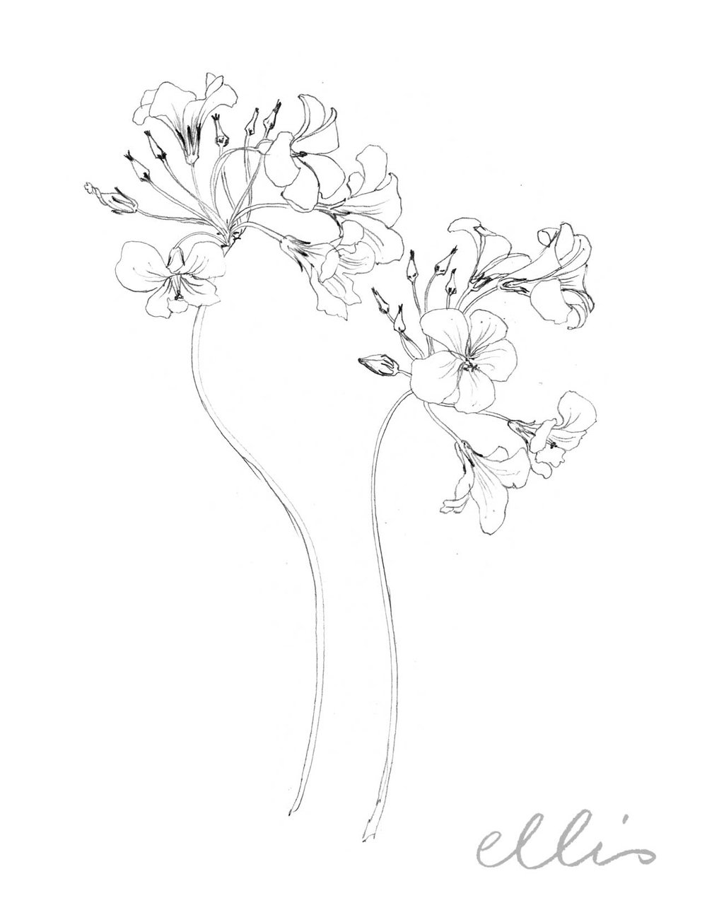 Erin Ellis_100 days project botanical drawings_2013-86.jpg