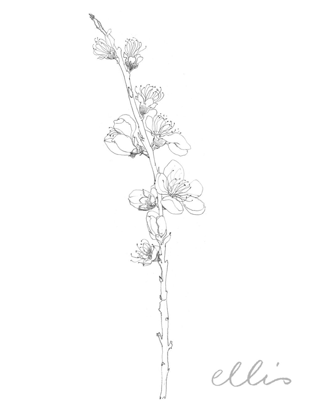 Erin Ellis_100 days project botanical drawings_2013-88.jpg