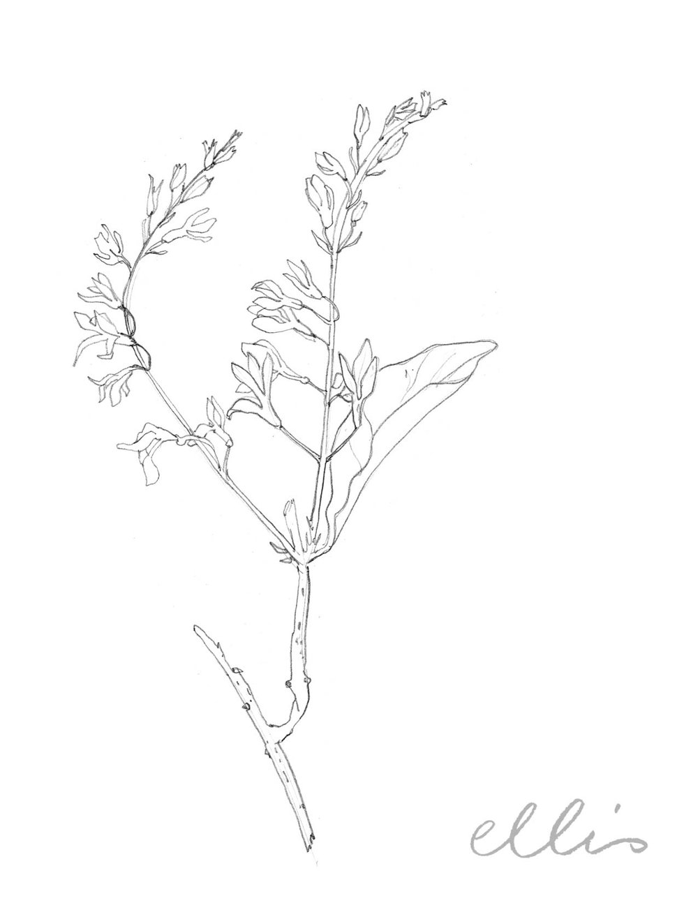 Erin Ellis_100 days project botanical drawings_2013-92.jpg