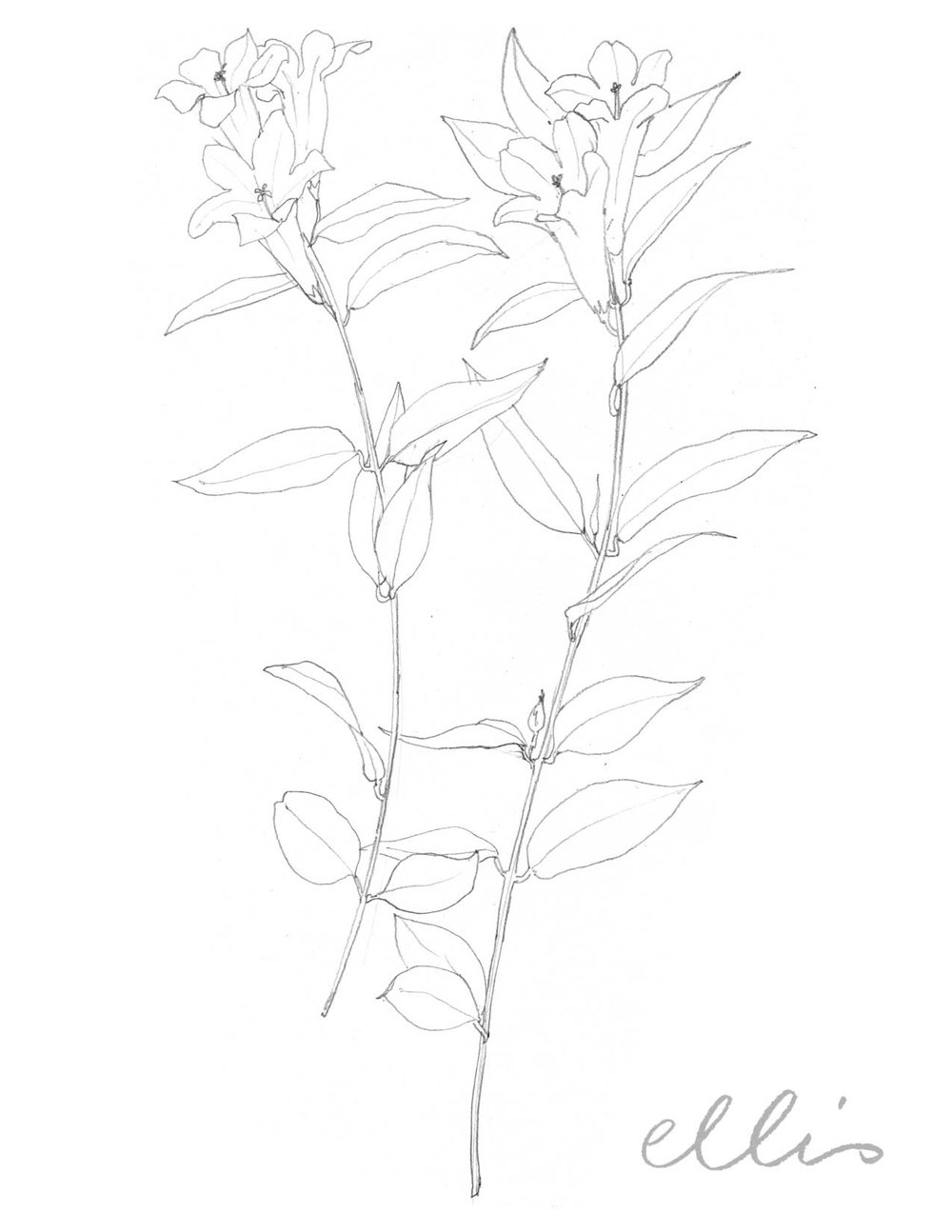 Erin Ellis_100 days project botanical drawings_2013-96.jpg