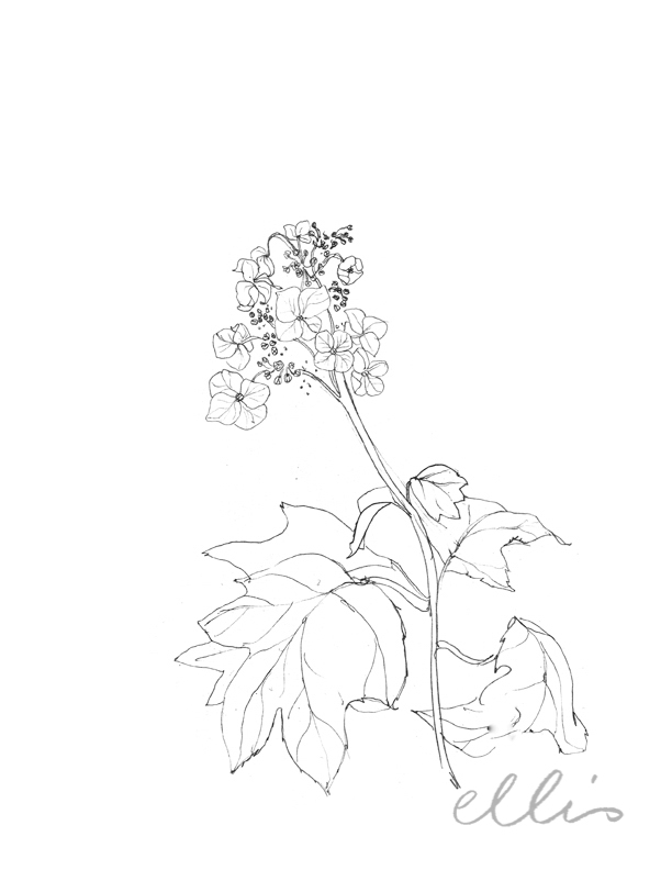 Erin Ellis_100 days project botanical drawings_2013-1.jpg
