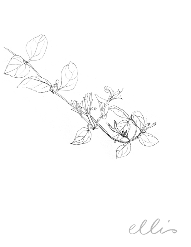 Erin Ellis_100 days project botanical drawings_2013-3.jpg