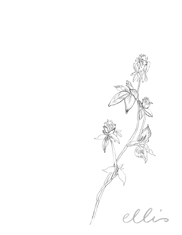 Erin Ellis_100 days project botanical drawings_2013-11.jpg