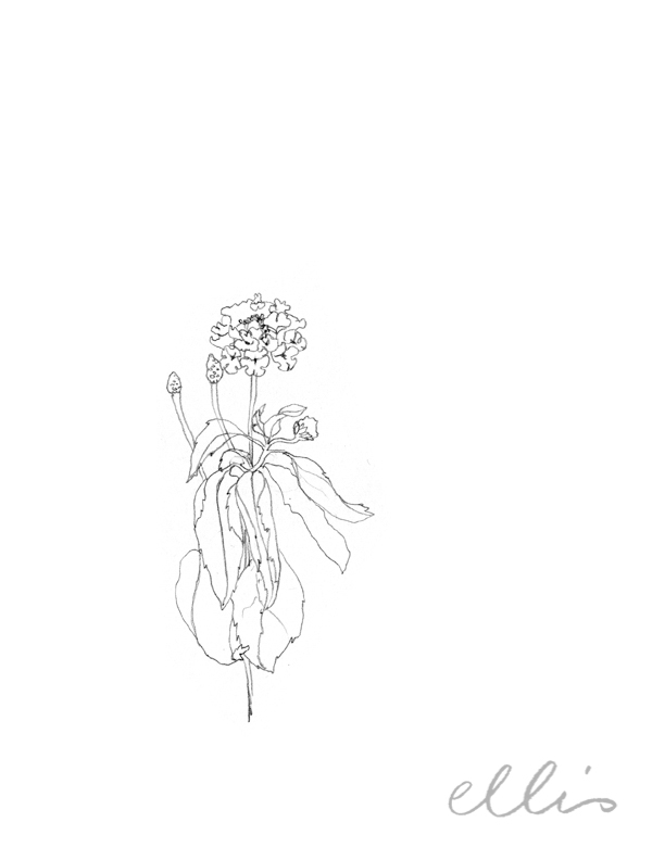 Erin Ellis_100 days project botanical drawings_2013-15.jpg