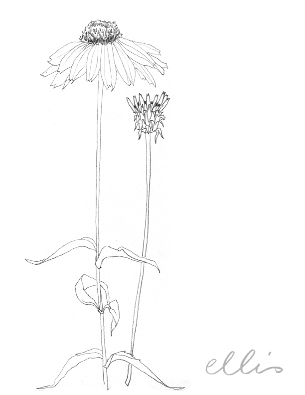 Erin Ellis_100 days project botanical drawings_2013-23.jpg