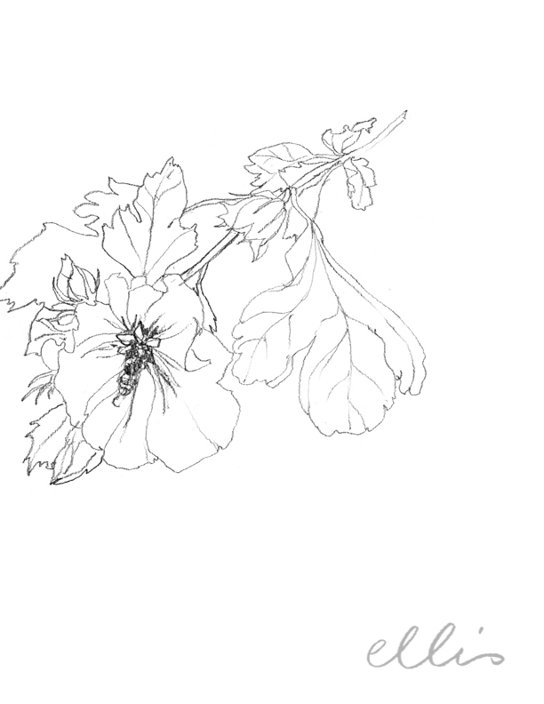 Erin Ellis_100 days project botanical drawings_2013-25.jpg