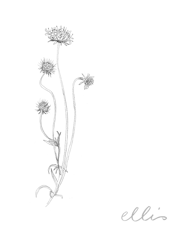 Erin Ellis_100 days project botanical drawings_2013-29.jpg