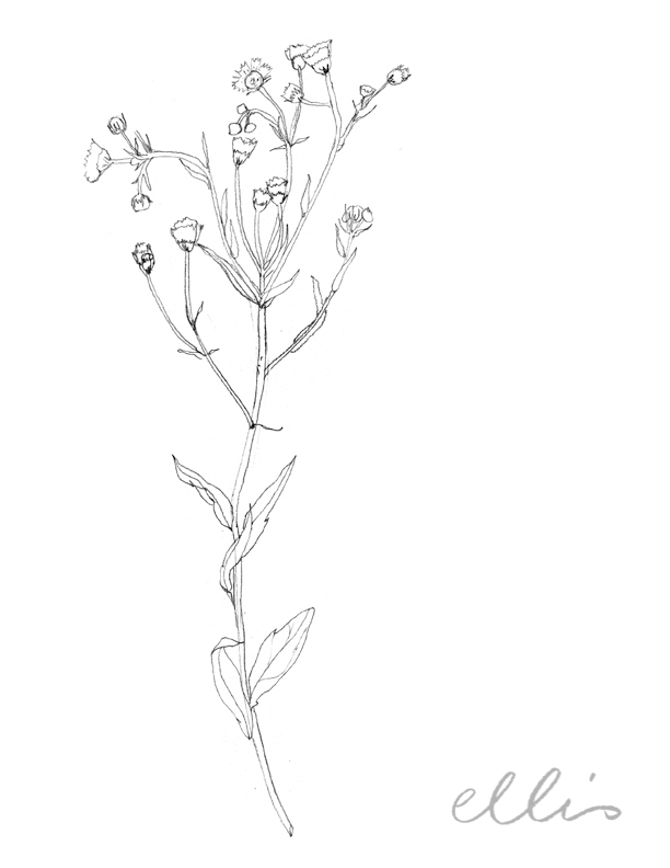 Erin Ellis_100 days project botanical drawings_2013-34.jpg