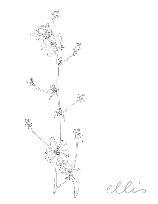 Erin Ellis_100 days project botanical drawings_2013-35.jpg