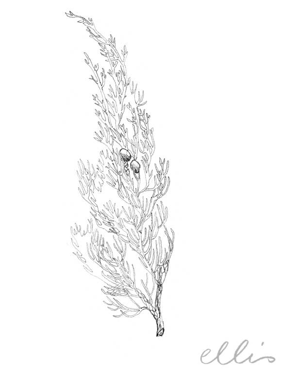 Erin Ellis_100 days project botanical drawings_2013-37.jpg