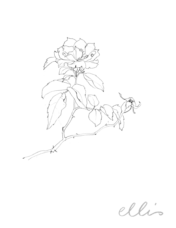 Erin Ellis_100 days project botanical drawings_2013-41.jpg