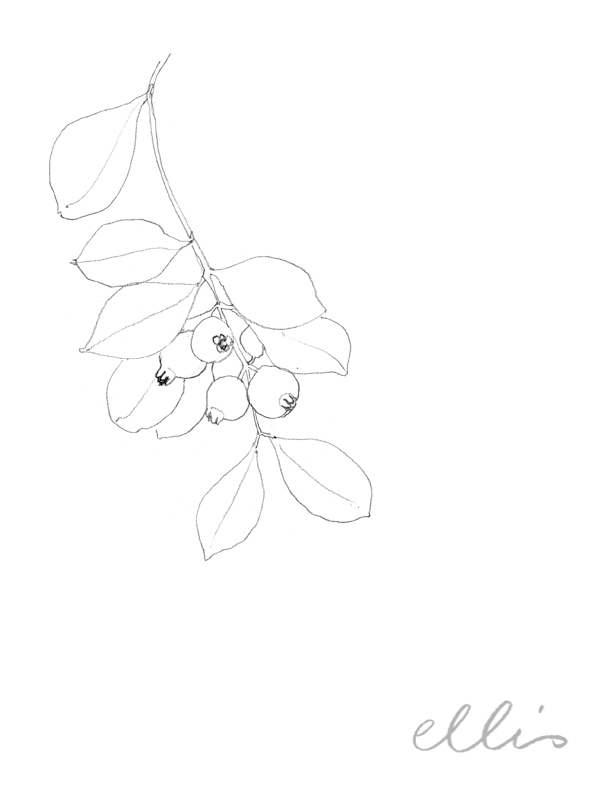 Erin Ellis_100 days project botanical drawings_2013-44.jpg