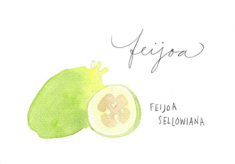 erin-ellis_watercolor_fruit_study_feijoa2.jpg
