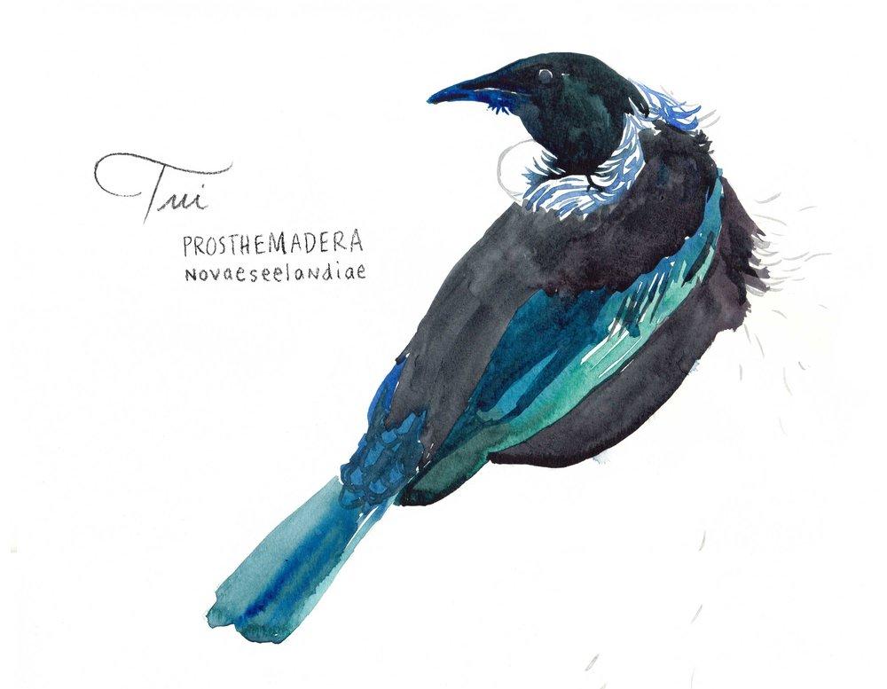 erin-ellis_watercolor_bird_study_tui.jpg