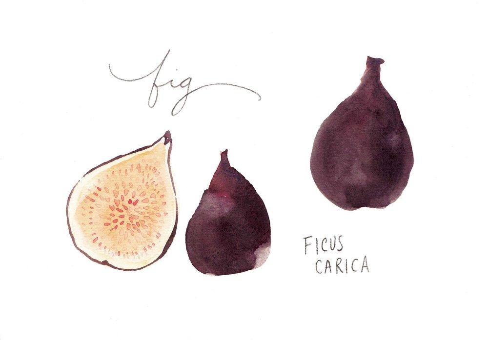 erin-ellis_watercolor_fruit_study_fig2.jpg