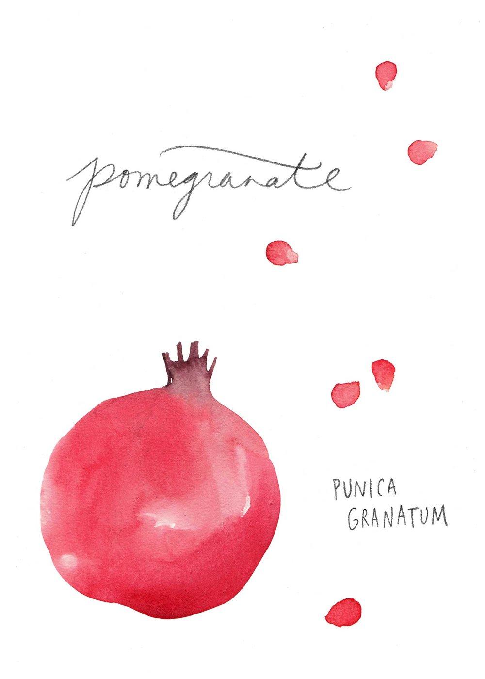 erin-ellis_watercolor_fruit_study_pomegranate2.jpg