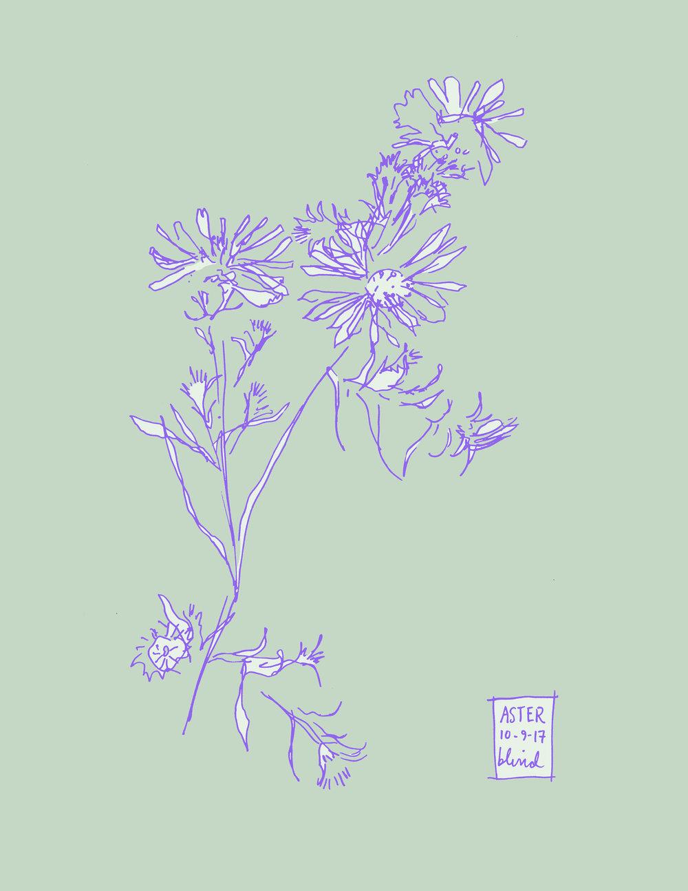 Aster botanical line illustration in color