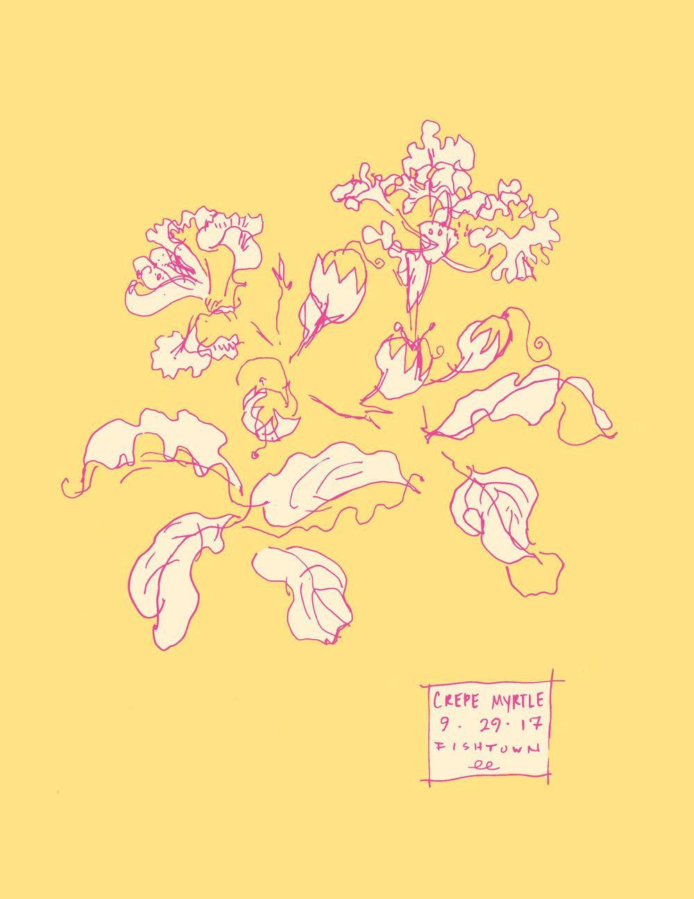 Crepe Myrtle botanical line color illustration