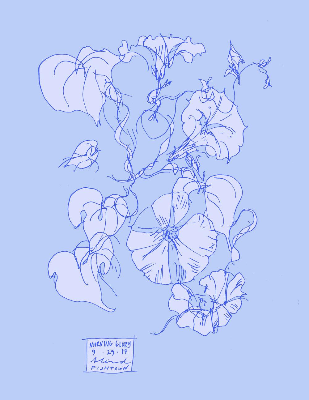 Morning Glory botanical line color illustration