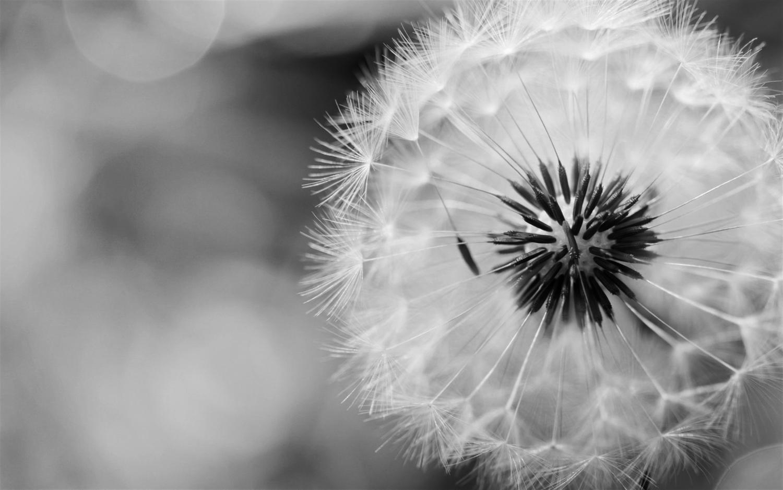 Black And White Dandelion Field Dandelion Black And White